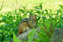 chipmunk enjoys the rock wall's crevices