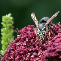bald-faced hornet on Angelica