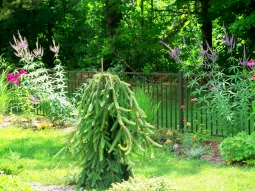Weeping spruce, July 2012