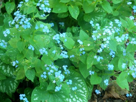 Brunnera in flower, May 2007
