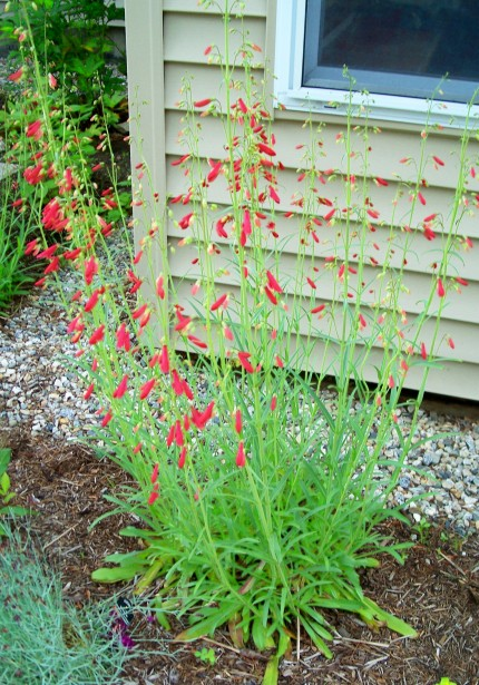 'Jingle Bell' Penstemon, July 2011