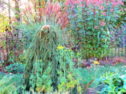 Weeping spruce with grasses, Joe Pye Weed, Oct 2013
