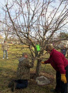 pruning a crabapple
