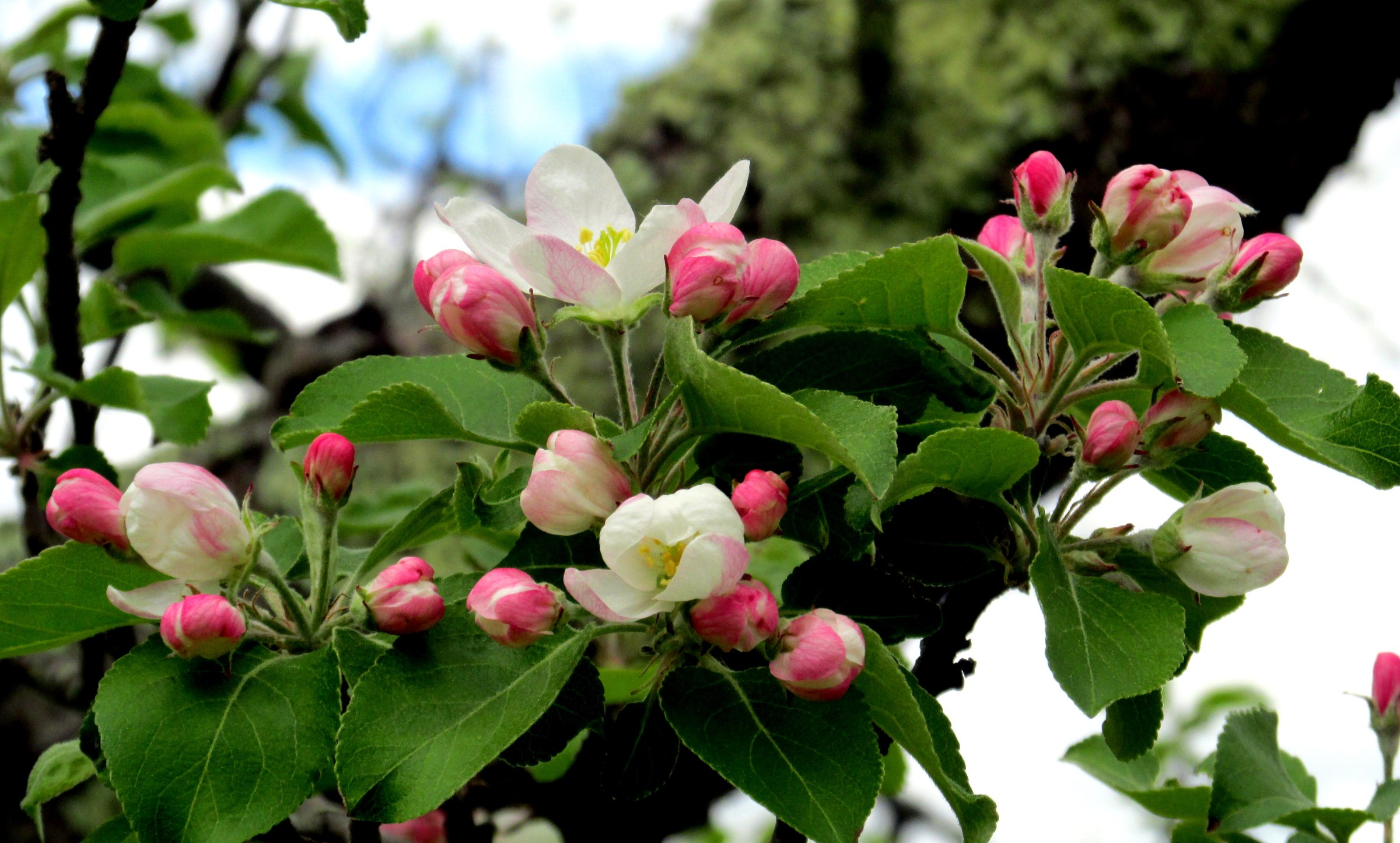 apple blossoms and buds