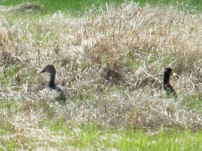 bad photo of American black duck pair