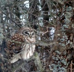 barred owl relocated in apple tree in March 2013