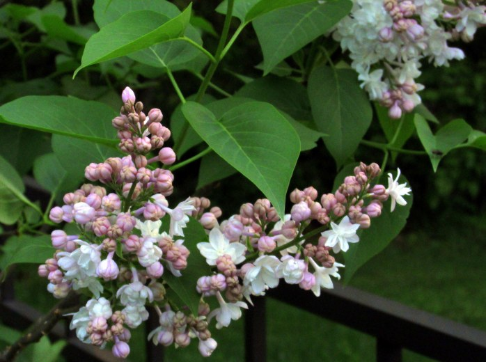 'Beauty of Moscow' lilac