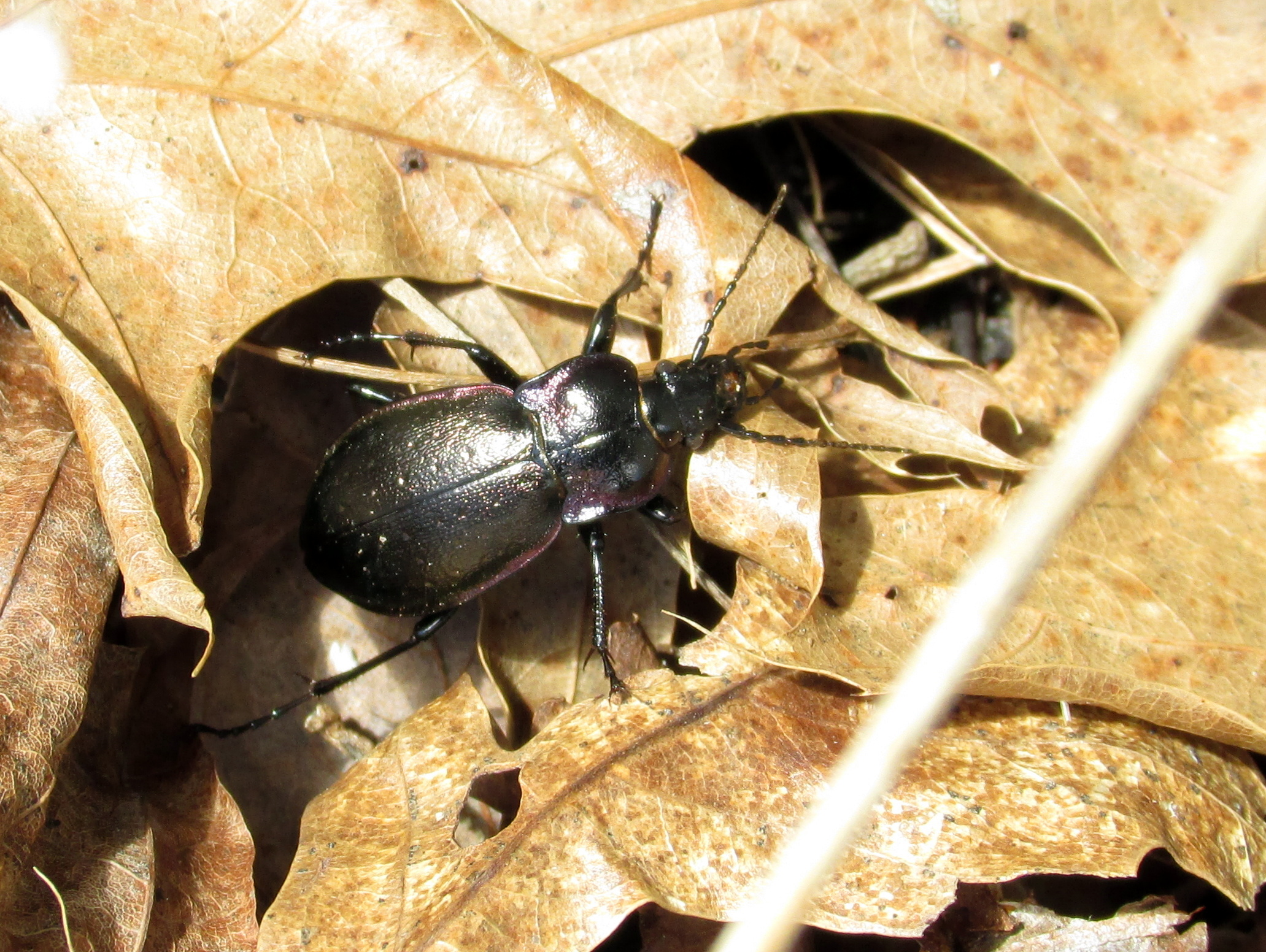 shiny bug in leaves and among weeds