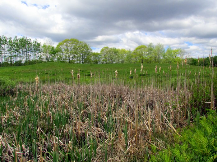 cattails in meadow