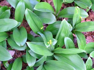 Clintonia (bluebead lily) in bud