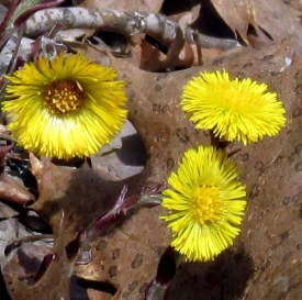 closer look: coltsfoot in bloom