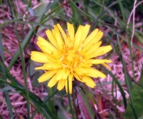 dandelion, 8 May 2014