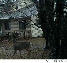 deer, 7 p.m., 15 April 2014