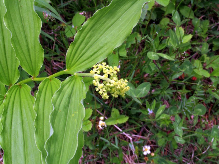 flower on false Solomon's Seal (Maianthemum racemosum)