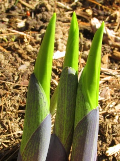 hosta shoots, 11 May 2014