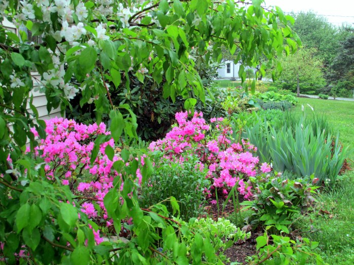 'Jade' crabapple and 'Olga Mezitt' rhododendron in bloom