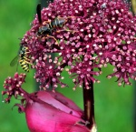 meeting of bees on angelica bloom