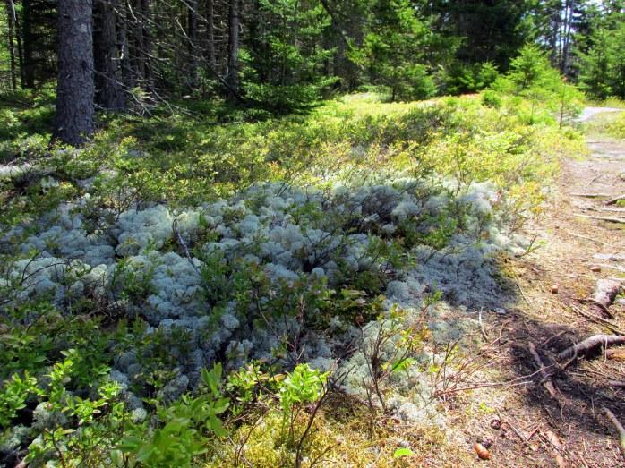 reindeer moss, Ocean Point Preserve
