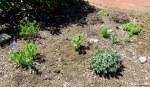 one bee balm planted near baptisia and sedum