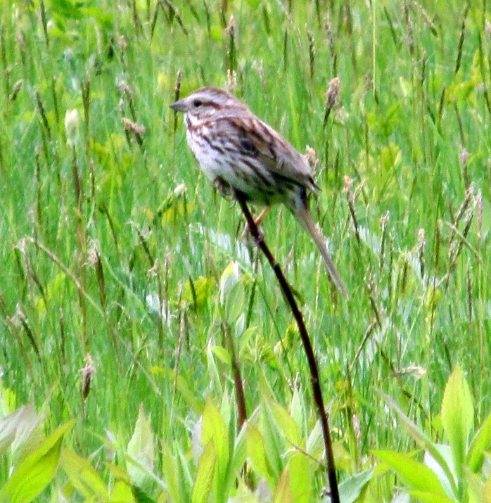 probably a song sparrow