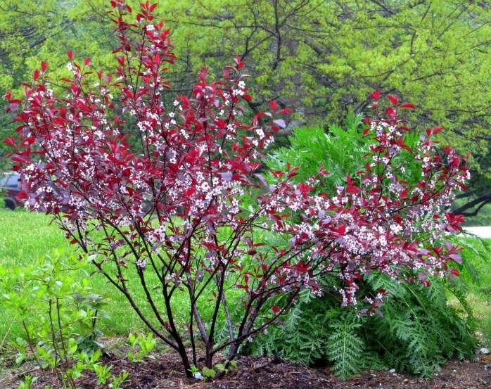 purple leaf sand cherry and tansy