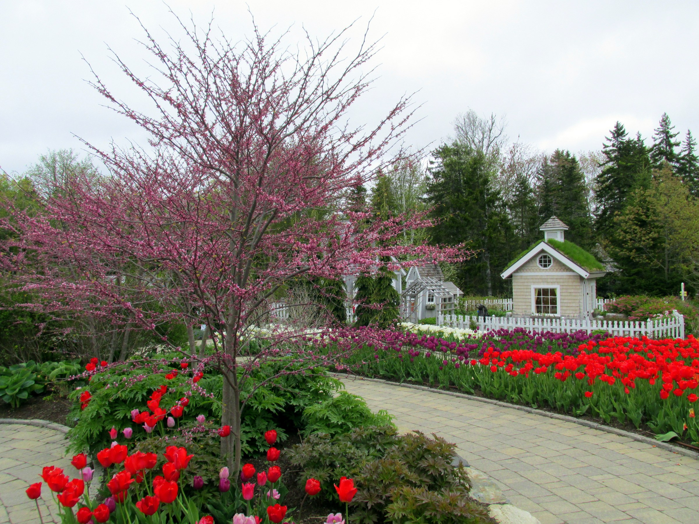 red bud and tulips in children's garden