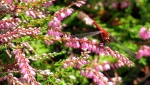 dragonfly on heather, Aug 2013