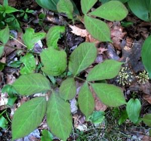 sarsaparilla foliage and bloom