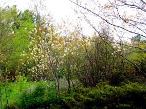 serviceberry (Amelanchier arborea) in bloom
