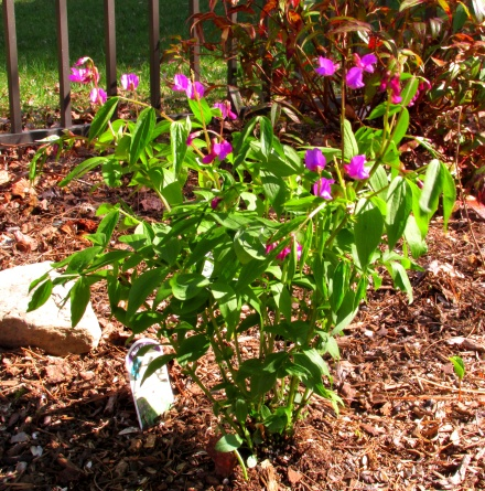 spring pea bush blooming, 11 May 2014
