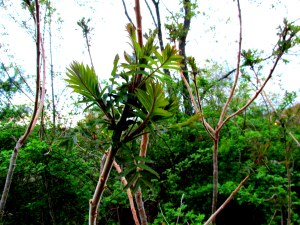 staghorn sumac (Rhus typhina)