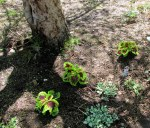 coleus planted near lamium under apple tree