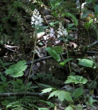tiarella blooming in nearby woods alongside a brook, May 2014
