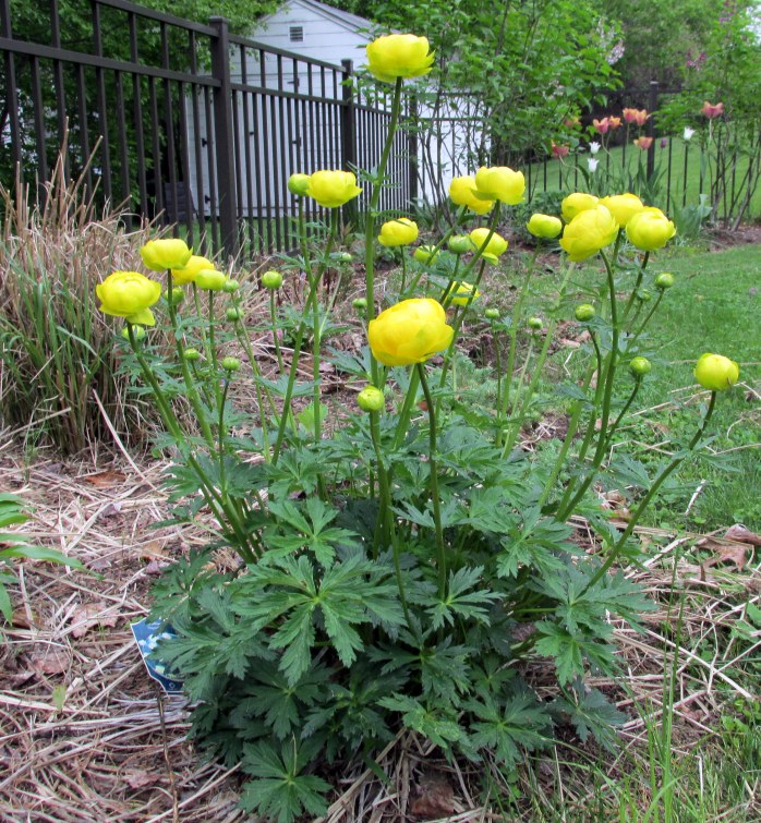 trollius starting to bloom
