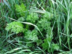 Queen Anne's Lace (Daucus carota) or wild chervil (Anthriscus sylvestris) foliage