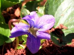 violet, 11 May 2014