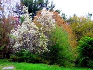 wild cherry in bloom: pin (Prunus pensylvanica) or black (Prunus serotina)?