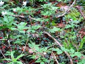 wood anemone and partridge berry