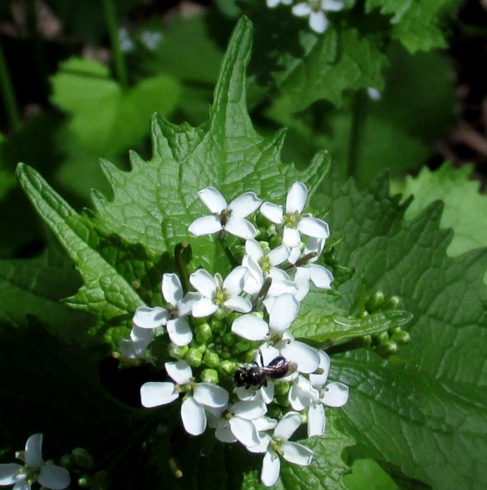another view of Alliaria petiolata (Garlic Mustard)