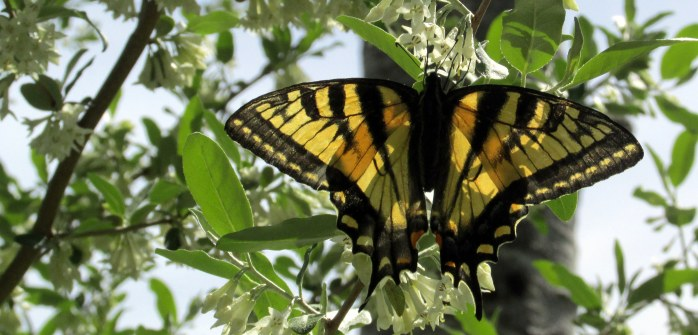 another Eastern tiger swallowtail on Autumn olive (Elaeagnus umbellata)