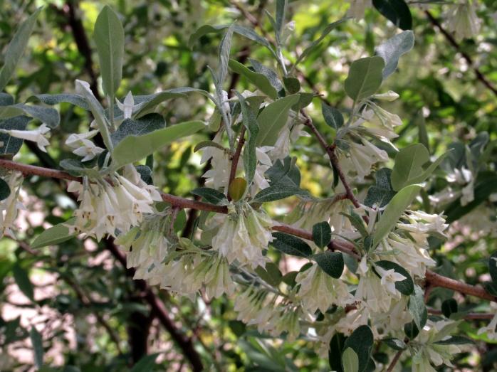Autumn olive (Elaeagnus umbellata) flowers