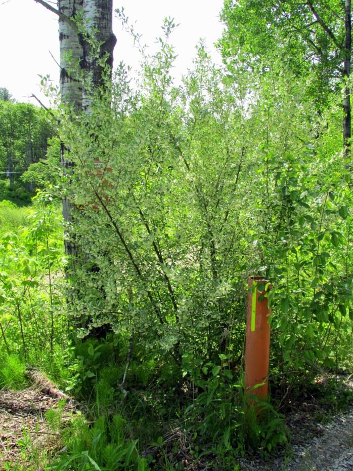 Autumn olive (Elaeagnus umbellata) shrub