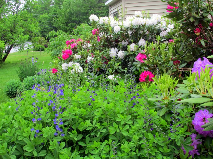 baptisia and large rhododendrons