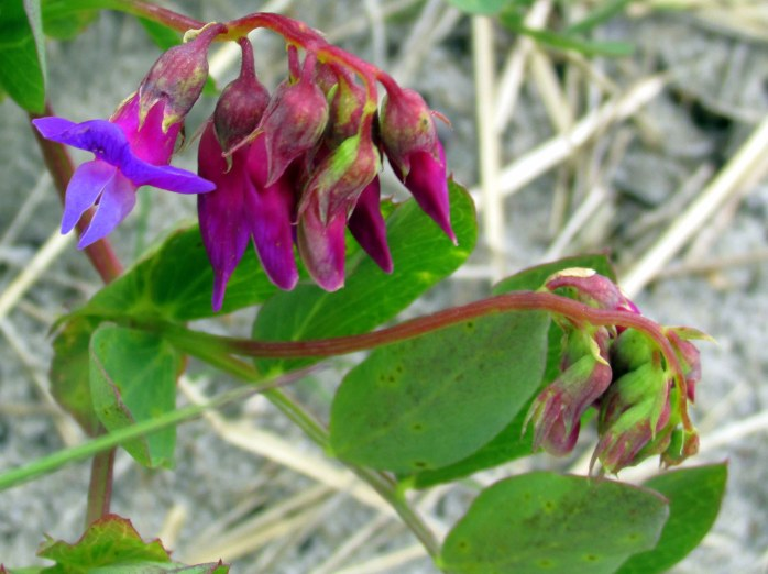 beach pea in bloom & bud ... these line the path down to the beach