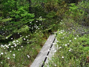bog cotton along boardwalk