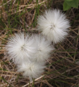 bog cotton close