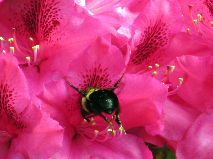 bumblebeebuttinlargepinkrhodobloom6June2014