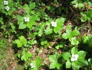 bunchberry (Cornus canadensis) in bloom