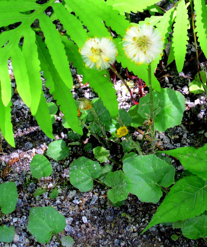 coltsfoot (Tussilago farfara) with its leaves and a photobombing fern