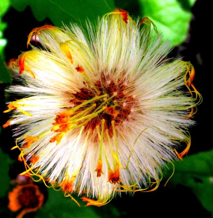 spent bloom of coltsfoot (Tussilago farfara)